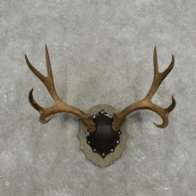 Mule Deer Taxidermy European Antler Plaque #17397 For Sale @ The Taxidermy Store