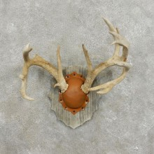 Whitetail Deer Antler Plaque Mount For Sale #17398 @ The Taxidermy Store