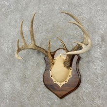 Whitetail Deer Antler Plaque Mount For Sale #17399 @ The Taxidermy Store