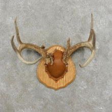 Whitetail Deer Antler Plaque Mount For Sale #17400 @ The Taxidermy Store