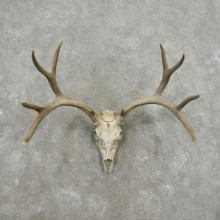 Mule Deer Skull Antler European Mount For Sale #17405 @ The Taxidermy Store