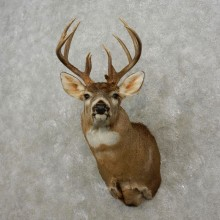 Whitetail Deer Shoulder Mount For Sale #17419 @ The Taxidermy Store