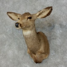 Mule Deer Doe Taxidermy Shoulder Mount For Sale