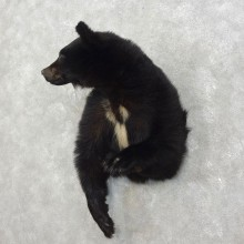 Black Bear 1/2-Life-Size Mount For Sale #17532 @ The Taxidermy Store