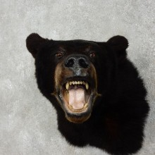 Black Bear Head Mount For Sale #17535 @ The Taxidermy Store