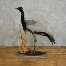 Demoiselle Crane Taxidermy Bird Mount For Sale