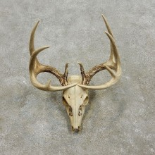 Whitetail Deer Skull European Mount For Sale #17560 @ The Taxidermy Store