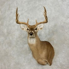 Whitetail Deer Shoulder Mount #17566 For Sale - The Taxidermy Store