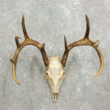 Whitetail Deer Skull European Mount For Sale #17590 @ The Taxidermy Store