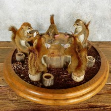 Poker Squirrel Taxidermy Mount Set For Sale