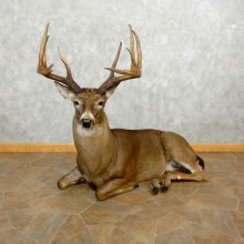 Whitetail Deer Life-Size Mount For Sale #17643 @ The Taxidermy Store