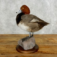 Redhead Duck Bird Taxidermy Mount For Sale #17715 @ The Taxidermy Store