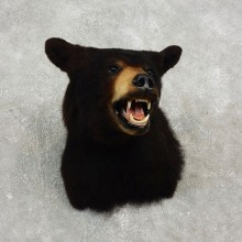 Black Bear Shoulder Taxidermy Head Mount For Sale #17746@ The Taxidermy Store