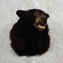 Black Bear Shoulder Taxidermy Head Mount For Sale #17751 @ The Taxidermy Store