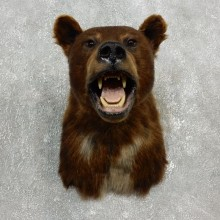 Cinnamon Black Bear Shoulder Taxidermy Head Mount For Sale #17752 @ The Taxidermy Store