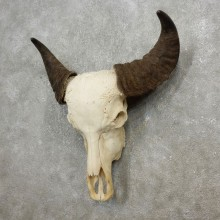 Water Buffalo Skull European Mount For Sale #17758 @ The Taxidermy Store