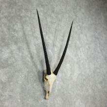 African Gemsbok Skull Horns European Mount #17770 For Sale @ The Taxidermy Store