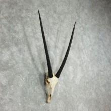 African Gemsbok Skull Horns European Mount #17770 For Sale @ The Taxidermy Store