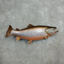 Brown Trout Fish Mount For Sale #17799 @ The Taxidermy Store