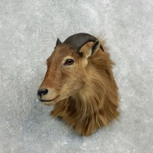 Himalayan Tahr Shoulder Taxidermy Mount For Sale