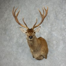 Red Stag Shoulder Mount For Sale #17988 @ The Taxidermy Store