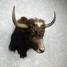Yak Taxidermy Mount #17992 For Sale @ The Taxidermy Store