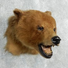 Cinnamon Black Bear Shoulder Mount For Sale #17995 @ The Taxidermy Store