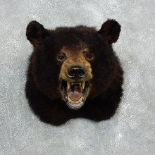 Black Bear Shoulder Mount For Sale #17996 @ The Taxidermy Store