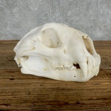 Mountain Lion Cougar Full Skull For Sale #18024 @ The Taxidermy Store