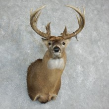 Whitetail Deer Shoulder Mount For Sale #18228 @ The Taxidermy Store
