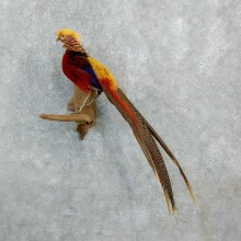 Golden Pheasant Taxidermy Bird Mount For Sale