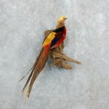 Golden Pheasant Taxidermy Bird Mount For Sale @ The Taxidermy Store-18249