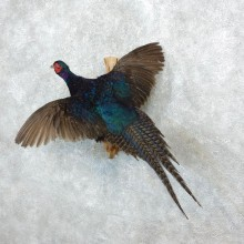 Black Pheasant Rooster Taxidermy Bird Mount For Sale