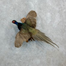 Green Pheasant Taxidermy Bird Mount For Sale