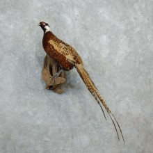 Standing Reeves Pheasant Taxidermy Mount For Sale