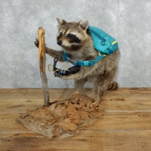 Novelty Hiking / Backpacking Raccoon Mount #18261 For Sale @ The Taxidermy Store