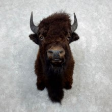 American Buffalo Shoulder Taxidermy Mount For Sale #18291 @ The Taxidermy Store