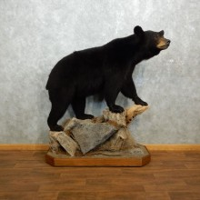 Black Bear Life-Size Mount For Sale #18313 @ The Taxidermy Store