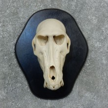 Chacma Baboon Skull Mount For Sale