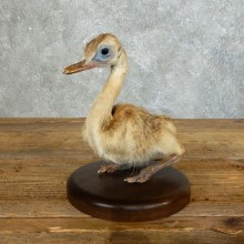 Baby Rhea Taxidermy Mount #18353 for sale @ The Taxidermy Store