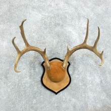 Whitetail-Deer-Antlers-Plaque-Taxidermy-Mount #18370 For Sale @ The Taxidermy Store
