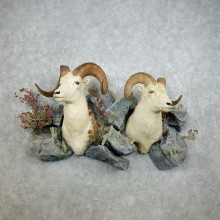Dall Sheep Wall Scene Taxidermy Shoulder Mounts For Sale