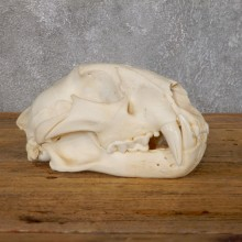 Mountain Lion Cougar Full Skull For Sale #18757 @ The Taxidermy Store