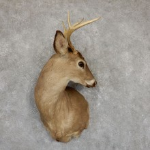 Whitetail Deer Taxidermy Shoulder Mount For Sale #18843 @ The Taxidermy Store
