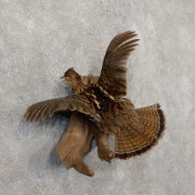 Ruffed Grouse Mount For Sale #18877 @ The Taxidermy Store