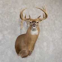 Whitetail Deer Shoulder Mount For Sale #18940 @ The Taxidermy Store