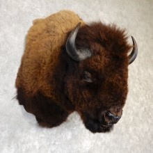 American Buffalo Shoulder Mount For Sale #19294 @ The Taxidermy Store