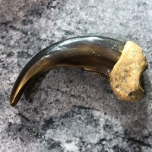 Grizzly Bear Claw For Sale #19384 @ The Taxidermy Store