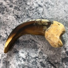 Grizzly Bear Claw For Sale #19385 @ The Taxidermy Store