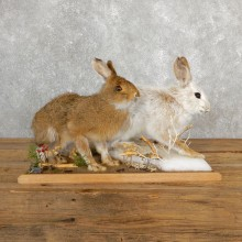 Snowshoe Hare Rabbit Mount #19704 For Sale @ The Taxidermy Store